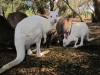 Wildlife Park - Parndana Kangaroo Island