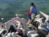 Pelican feeding - Kangaroo Island