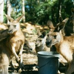 Le Kangourou en Australie
