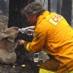 Trois Incroyables histoires de koalas