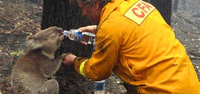 trois incroyables histoires de koalas en australie