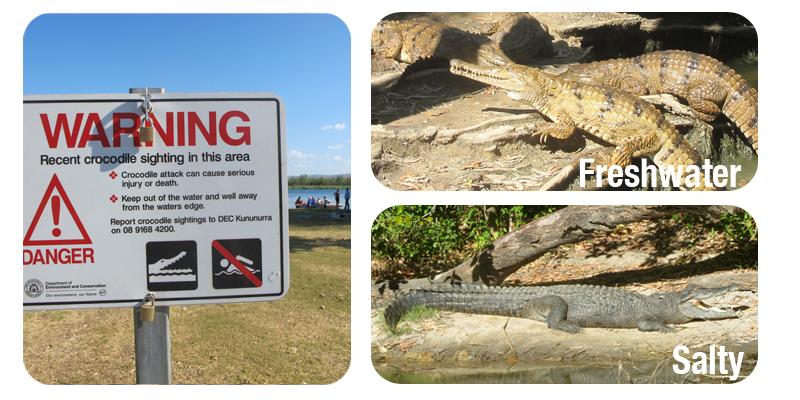 crocodile-faune-australie