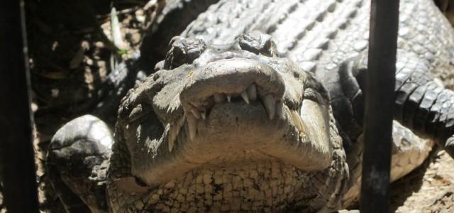 les crocodiles d u0026 39 australie
