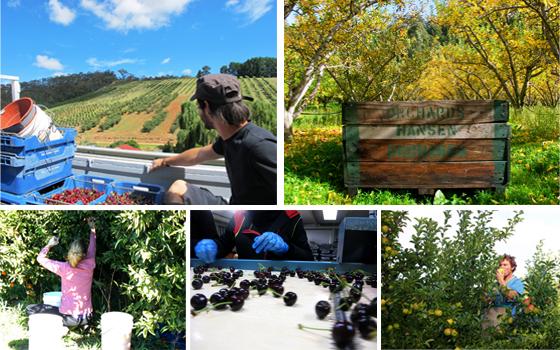 Travailler dans les récolte de fruits australie