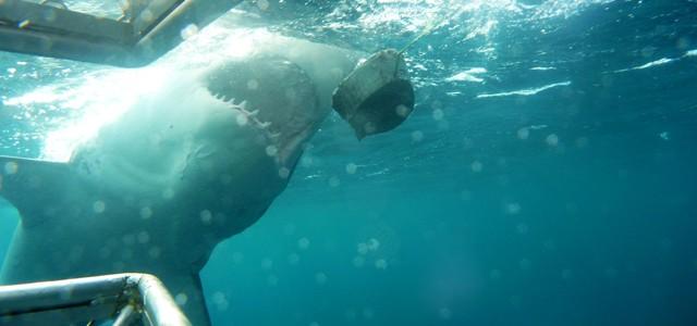 Plonger avec les requins blancs en Australie