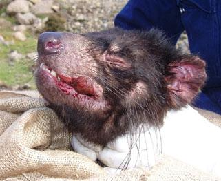 Diable Tasmanie Maladie cancer