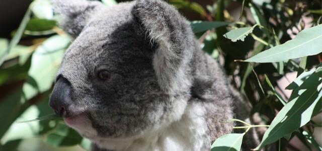Le Koala d'Australie