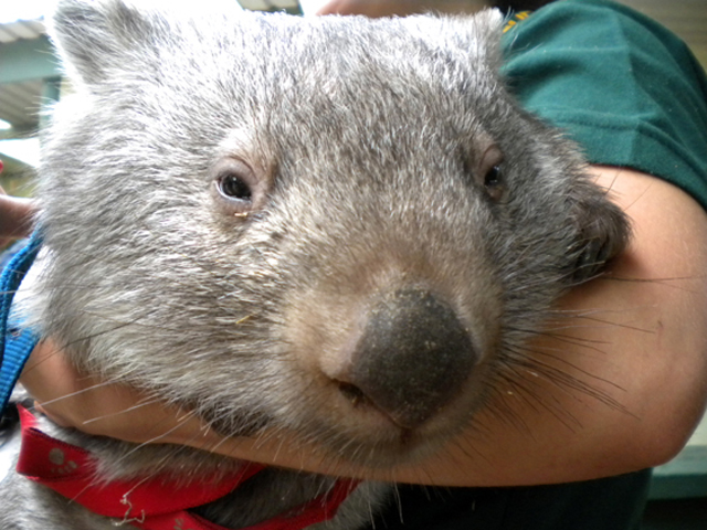Wombat faune australie