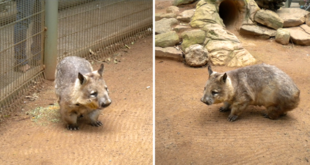 Le Wombat Faune Australie fiche pratique