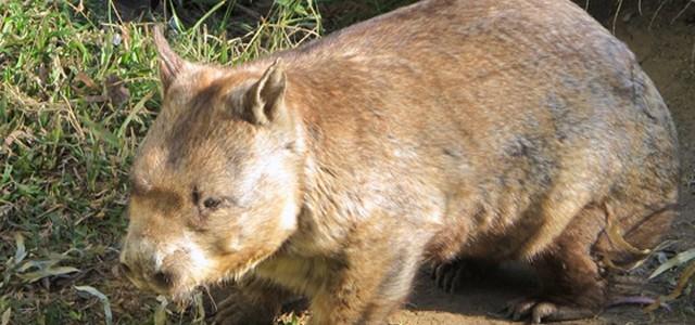 le wombat d u0026 39 australie