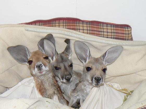Kangaroo Dundee 2