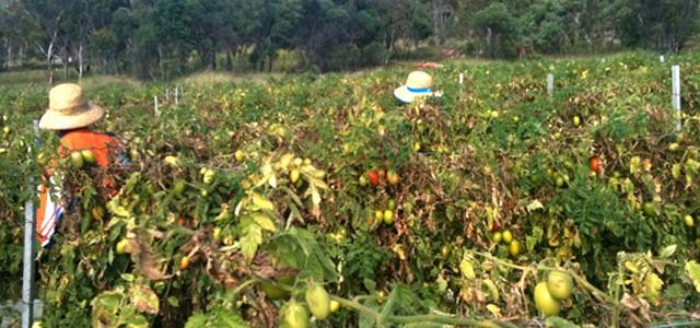 Charlie et la tomate magique : expérience dans le fruit picking