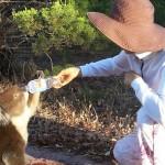 Rencontre avec un koala assoiffé