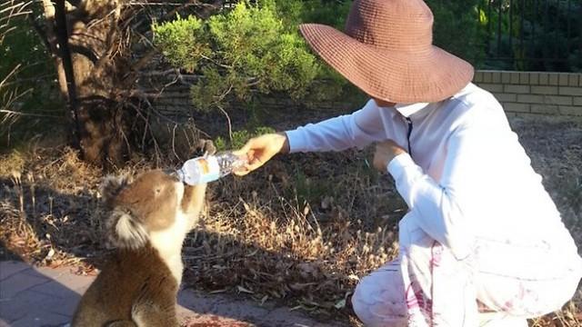 rencontre insolite avec un koala assoiff u00e9