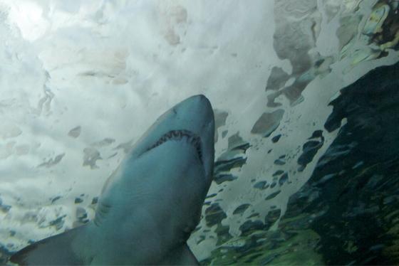 attaques requins western australia 3