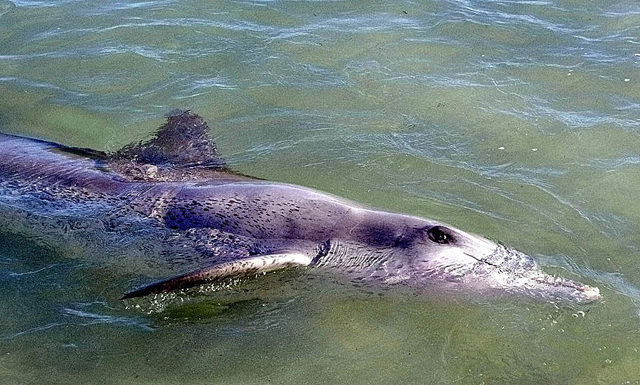 Dauphins monkey mia WA australie dolphin feeding
