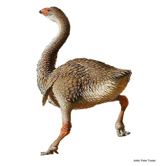 genyornis mega faune animaux géants australie