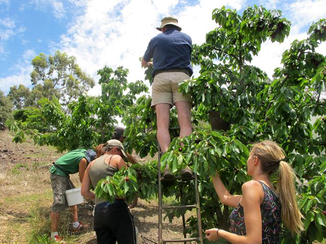 Frui Picking ferme cerises