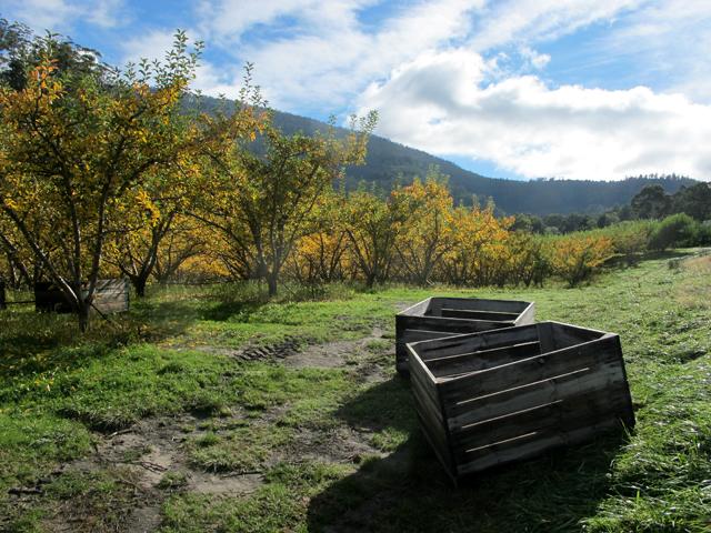 Frui Picking récoltes pommes Tasmanie