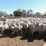 Expérience de job dans un élevage de moutons