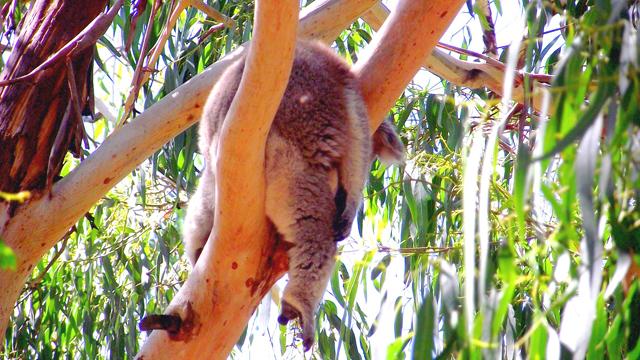 Koala Australie Philip Island Victoria