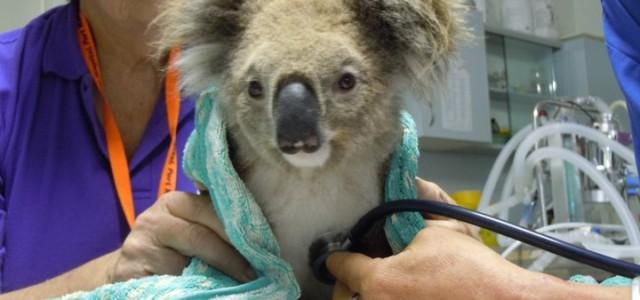 """Concours """"Save a Koala"""""""