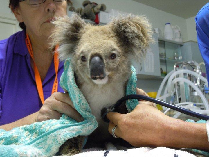 adopter un koala