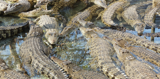 Travailler ferme crocodiles Australie job zoo