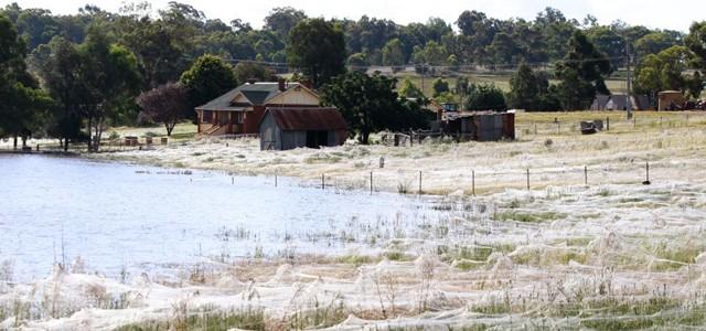 Une invasion d'araignées à Wagga Wagga