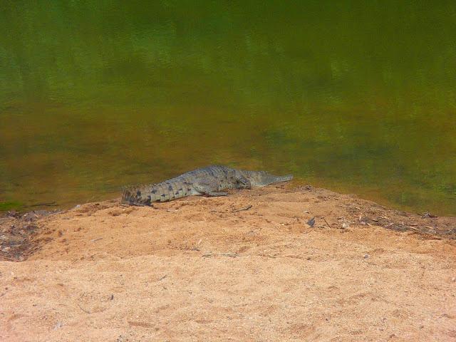 Windjana Gorge, la certitude de voir des crocodiles d'eau douce dans leur habitat naturel !