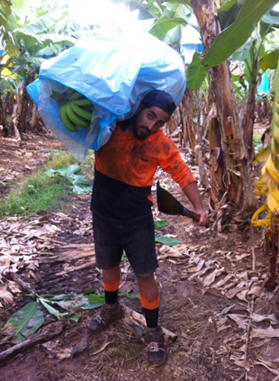 Fruit Picking bananes Australie 6
