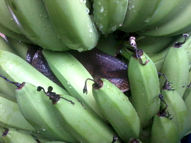 Fruit Picking bananes Australie