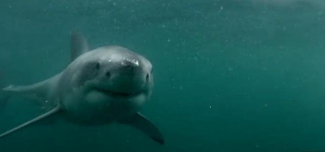 VIDEO : Un homme se retrouve face à un requin blanc dans la baie de Sydney