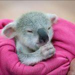 Un koala orphelin sauvé de justesse par une australienne