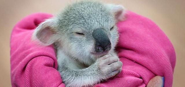 un koala orphelin sauv u00e9 de justesse par une australienne