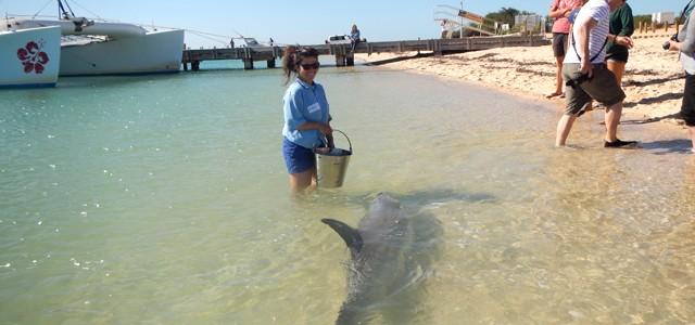Un job de rêve : Travailler avec les dauphins à Monkey Mia
