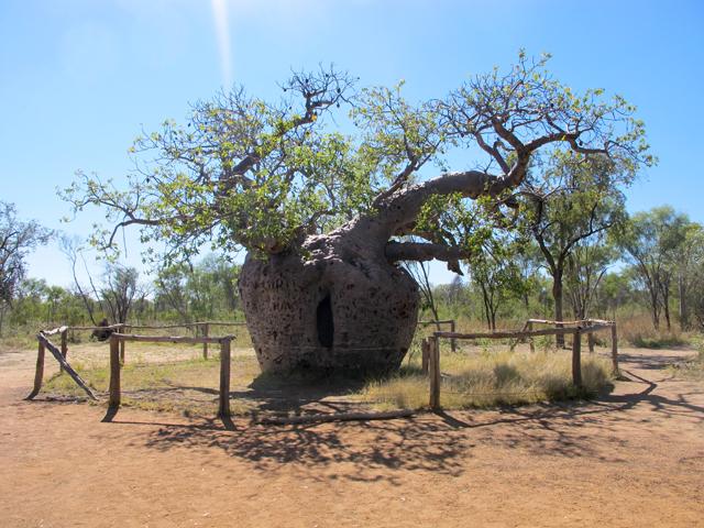 Baobab Tree Australia