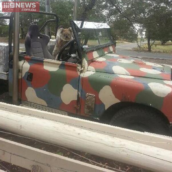 un koala au volant d 39 une voiture en australie. Black Bedroom Furniture Sets. Home Design Ideas