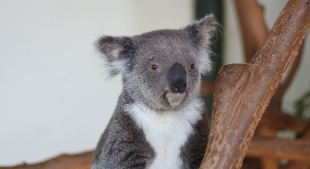 Près de 700 koalas euthanasiés par le gouvernement Australien
