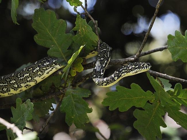 serpent python australie