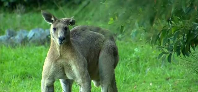 Un kangourou géant surprend les habitants de Brisbane