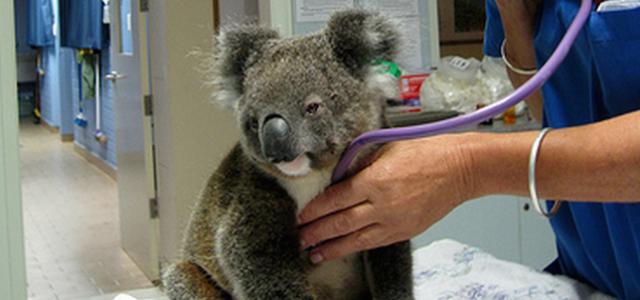 Concours : J'adopte un Koala