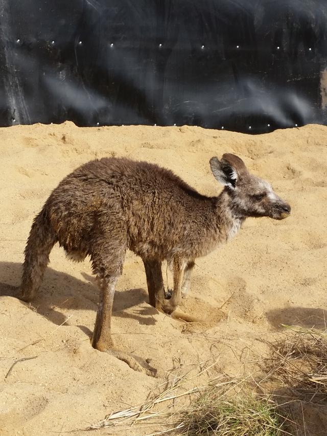 Sauver Kangourou Australie 5