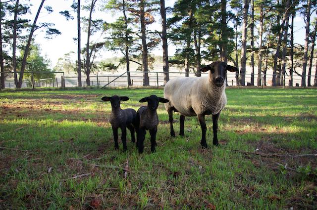 mouton agneau wwoofing