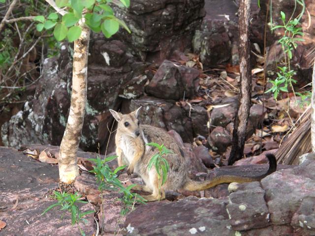 Kangourou australie Litchfield
