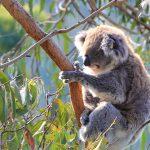 Devenir sauveteur d'animaux en Australie