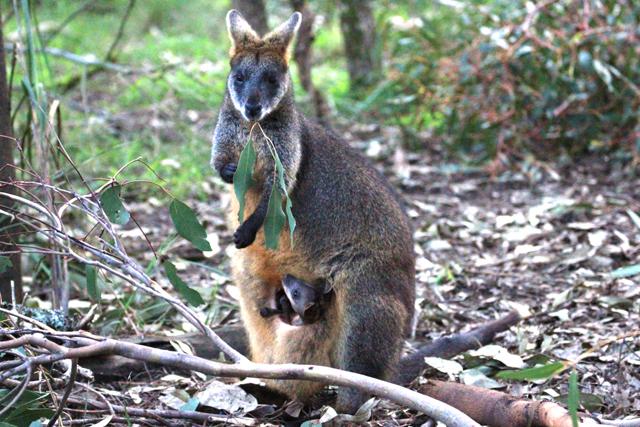 sauveteur animaux australie 3