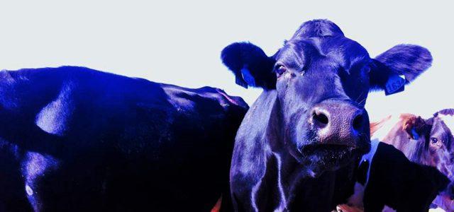 Travailler 88 jours dans une ferme laitière