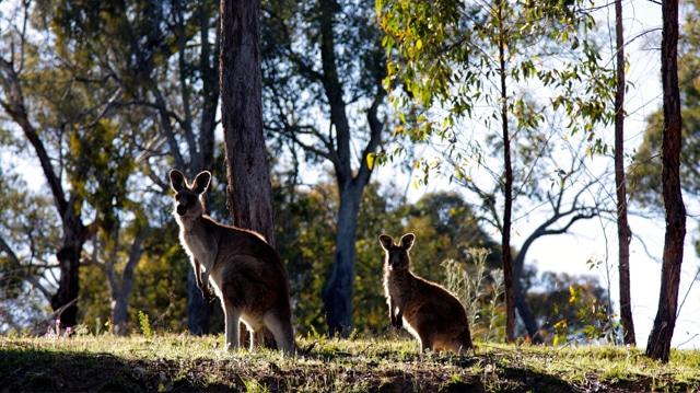 kangourous-australie-2