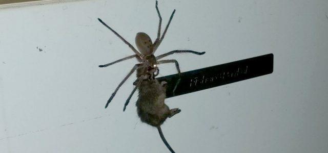 En Australie, une énorme araignée mange une souris